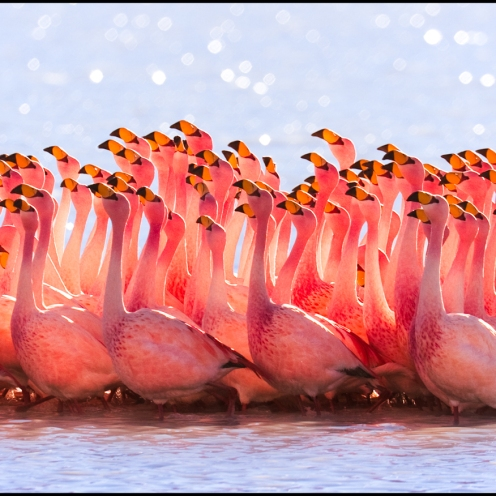 James's Flamingo